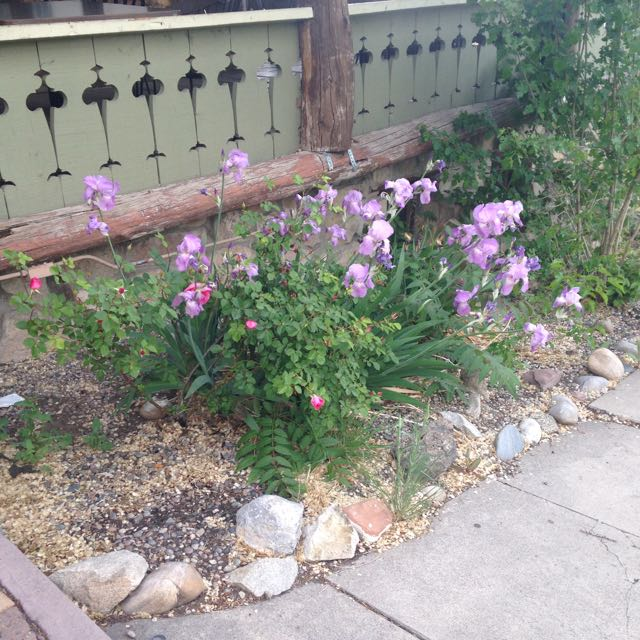 Purple blooms outside the Albuquerque Press Club the night I went to see Purple Rain.