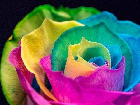 rainbow_rose1