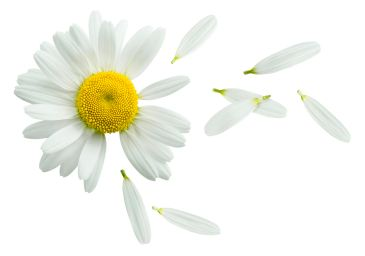 42846642 - chamomile flower flying petals, guess on daisy, isolated on white background as poster design element