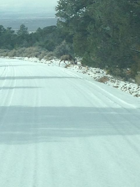 Deer crossing the road that leads to the D.H. Lawrence Ranch in Taos County, San Cristobal